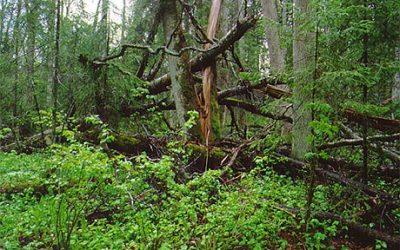 Metsanduskogusse loosi tahtel